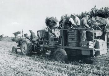 Aardappelrooien 1960