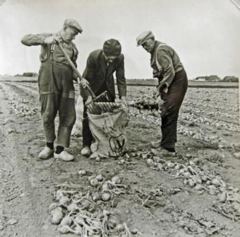 Arbeiders aan het uienrooien