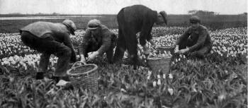 Tulpen koppen in 1933